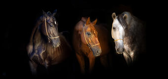 Group of horse portrait on black stock image