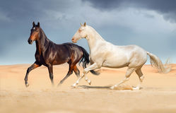 Group of horse run on desert sand royalty free stock photo