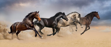Group of horse run gallop. Four beautiful horse run gallop on desert dust Royalty Free Stock Image