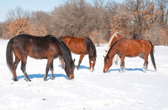 Group of horses Royalty Free Stock Image