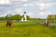 Group of  horses in buttercup meadow, church building Royalty Free Stock Photography