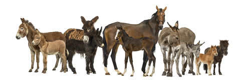 Group of horses and donkeys, isolated Royalty Free Stock Images