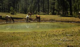 Group of horses drinking water in a small lake. royalty free stock image