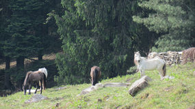 Group of horses. A group of horses eating grass in a field with trees in background on a hill Stock Image