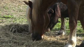 Group of horses eating hay stock video