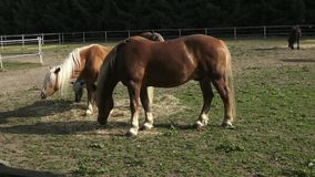 Group of horses eating hay stock footage