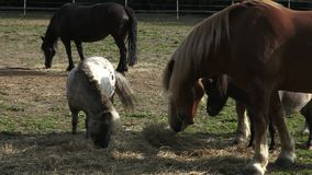 Group of horses eating hay stock video footage