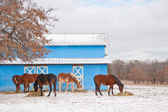 Group of horses eating their hay Stock Photo