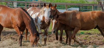 Group of Horses feeding Stock Photography