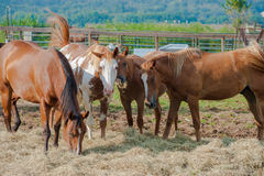 Group of Horses feeding Stock Images
