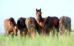 Group of horses in field. Group of Belarus horses eating grass in field at summer royalty free stock photo