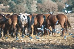 Group of horses in a field with flying pigeons royalty free stock photos