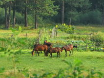 Group of horses in field at morning Stock Photography