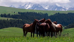 Group of Horses in the Foothills. A small herd in a sunny meadow against the beautiful snow-capped mountains stock video footage