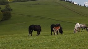 Group of horses free in green mountain pasture