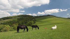 Group of horses free in green mountain pasture stock footage