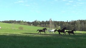 Group horses gallop free in meadow happy in summer stock video