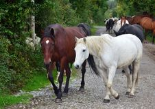 A group of horses going to their stable. Ireland royalty free stock photos
