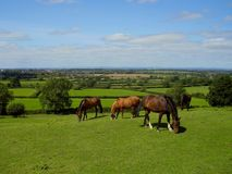 A group of horses graze the sweet green grass at Old Sodbury royalty free stock photography