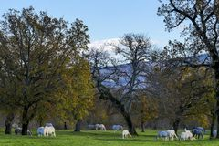 Large group of horses grazing grass autumn nature background. Group of horses grazing in distant under oak tree forest Stock Photo