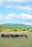 Grazing horses Stock Photos