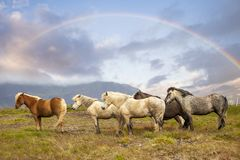 Group of horses while grazing in the iceland plain. Under the rainbow in the summer time Royalty Free Stock Images