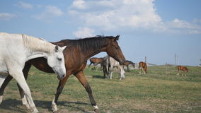 Group of horses grazing on the meadow. Horses is galloping and walking in the field. Close-up. stock footage