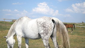 Group of horses grazing on the meadow. Horses is standing and eating green grass in the field. Close-up stock footage