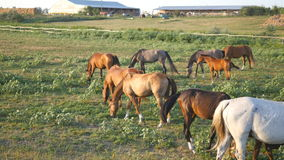 Group of horses grazing on the meadow. Horses is walking and eating green grass in the field. Close up stock video footage