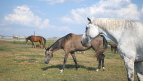 Group of horses grazing on the meadow. Horses is walking and eating green grass in the field. Close-up stock footage