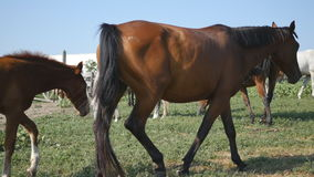 Group of horses grazing on the meadow. Horses is walking and eating green grass in the field. Close up stock video