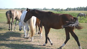 Group of horses grazing on the meadow. Horses is walking and galloping in the field. Close up. Rear back view stock footage