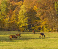 Group of horses grazing and playing Stock Photos