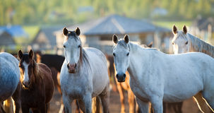 Group of horses looking at camera. Stock Photography