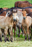 Group of horses looking at camera. Stock Image
