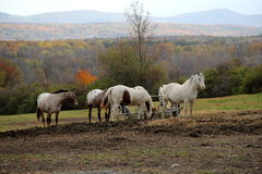 Group of horses out in field Royalty Free Stock Photos