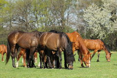 Group of horses in pasture. Group of horses in spring pasture Royalty Free Stock Photos