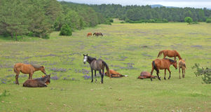 Group of horses at pasture Stock Image