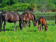 Group horses in the pasture Royalty Free Stock Images