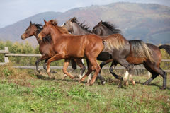 Group of horses running on autumn pasturage Stock Image