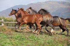 Group of horses running on autumn pasturage stock image