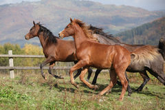 Group of horses running on autumn pasturage Royalty Free Stock Image