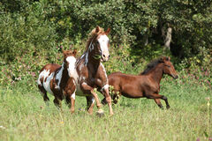 Group of horses running in freedom Royalty Free Stock Photography