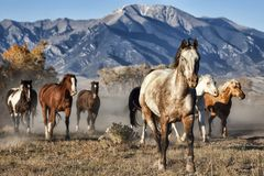 A Leader of Running Horses with Mountain Backdrop royalty free stock image