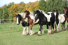 Group of horses running on pasturage Royalty Free Stock Image