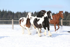 Group of horses running in winter Royalty Free Stock Photo