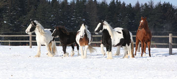 Group of horses running in winter Royalty Free Stock Images