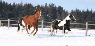 Group of horses running in winter Royalty Free Stock Photos