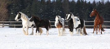Group of horses running in winter Stock Photos