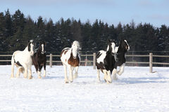 Group of horses running in winter Stock Images